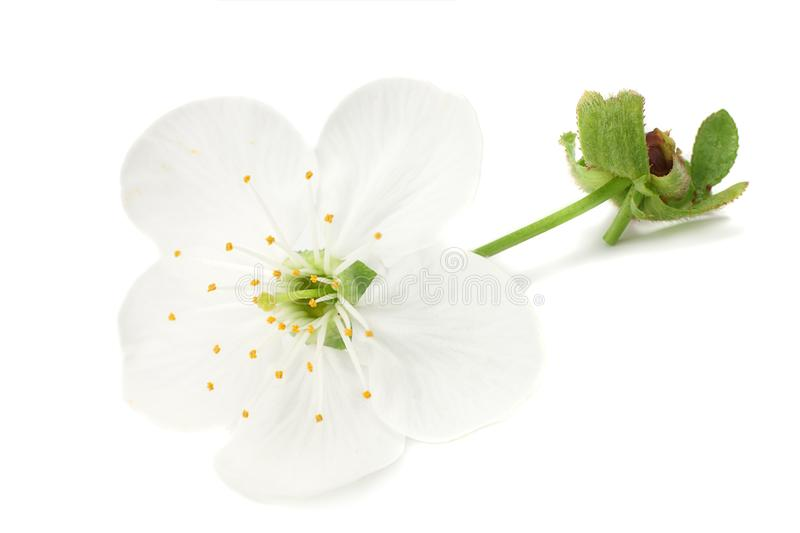 White flowers blossoms isolated on white background. cherry flower stock images