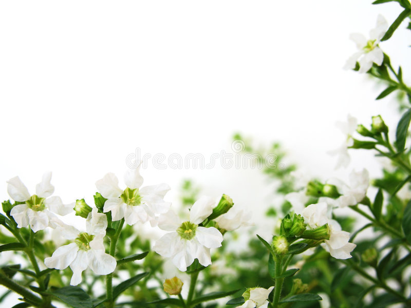 White Flowers Border royalty free stock photography