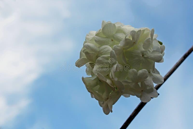 White flowers of Brazilian Hydrangea stock photo