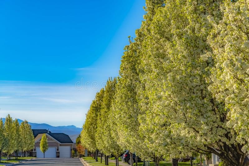 White flowers and bright green leaves of lush trees lining the road in spring. Houses and mountain under cloudy blue sky cna also be seen on this sunny day royalty free stock photo