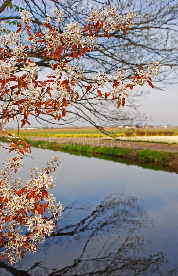 White Flowers with Brown Leaves with Tree branches without Leaves in background. Signifying arrival of spring with blue sky and great water reflection stock photography