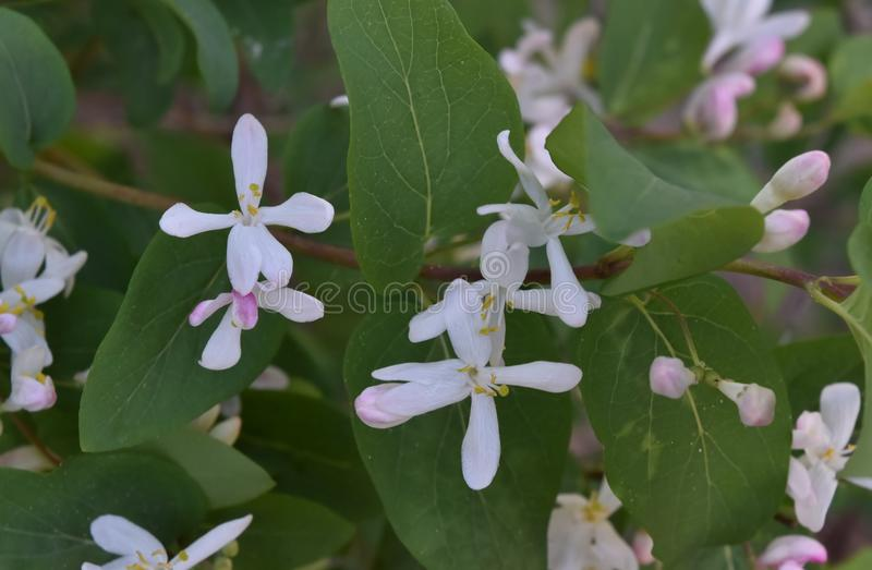 White flowers of bush stock photos