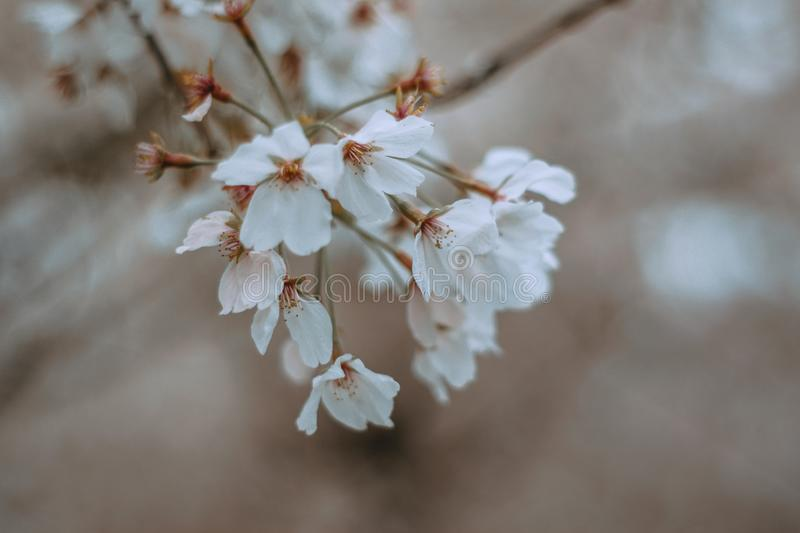 White Flowers in spring cherry bloosom royalty free stock image