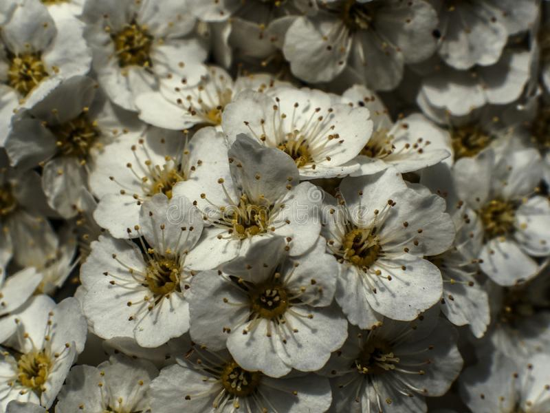 white flowers of a cherry blossom stock photography