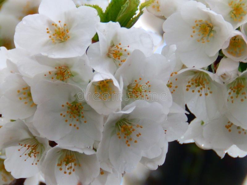 White flowers cherry blossom tree royalty free stock images