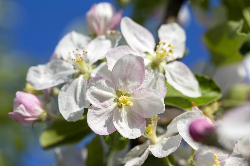 White flowers of the cherry blossoms on a spring day over blue sky background. Flowering fruit tree in Ukraine stock photo