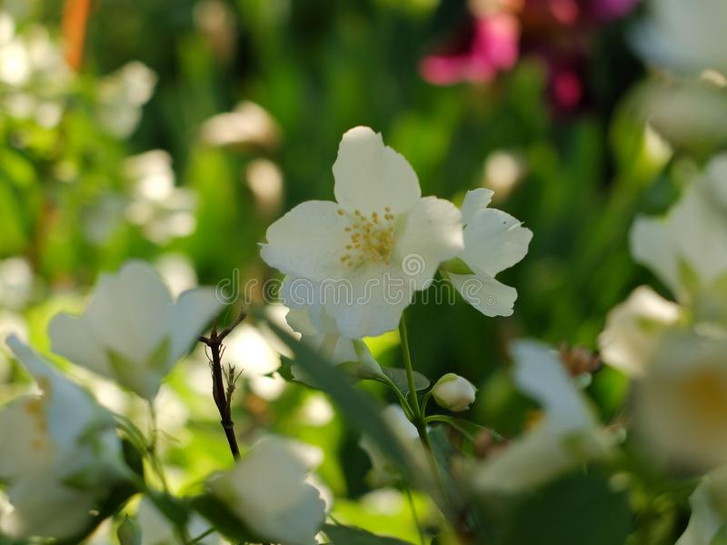 White flowers chubushnika. Bright colors of a well-kept garden. Charming perfection of nature in the spring. White flowers chubushnika. Spring flowering bushes stock image