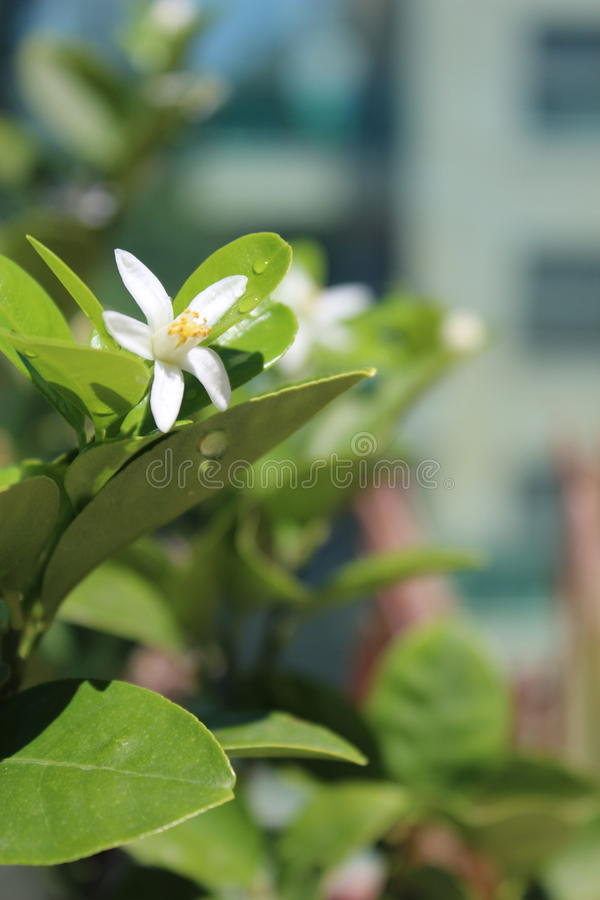 White flowers of citrus . Small citrus flowers and white. A bright green citrus tree in the background stock images