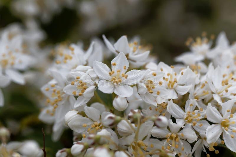 White flowers of a Deutzia scabra stock photography