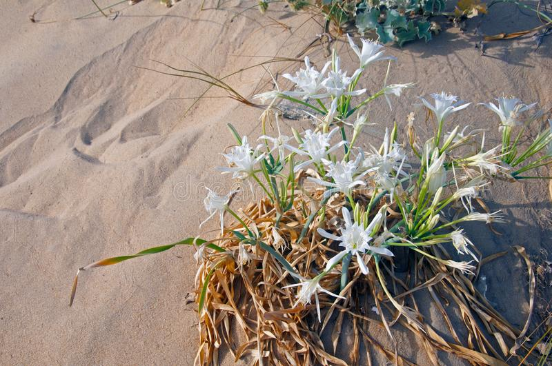White flowers in the sand, closeup stock photos