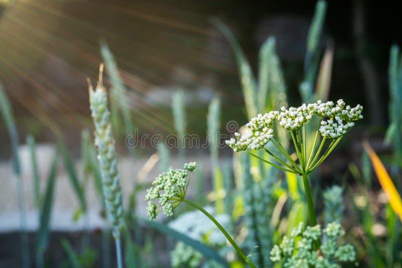 White Flowers in Evening Light. White wild flowers in golden evening light royalty free stock image