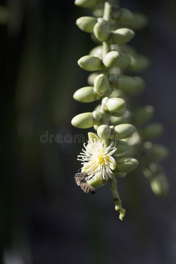 Creamy White Foxtail Palm Flower with Honeybee Pollinator. White Flowers of the Exotic Foxtail Palm Wodyetia bifurcata Flowers with a Honeybee Pollinator in a stock photo
