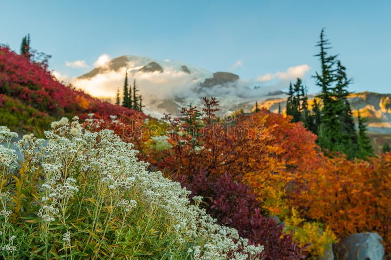 White Flowers and Fall Colors in Front of Mount Rainier royalty free stock image