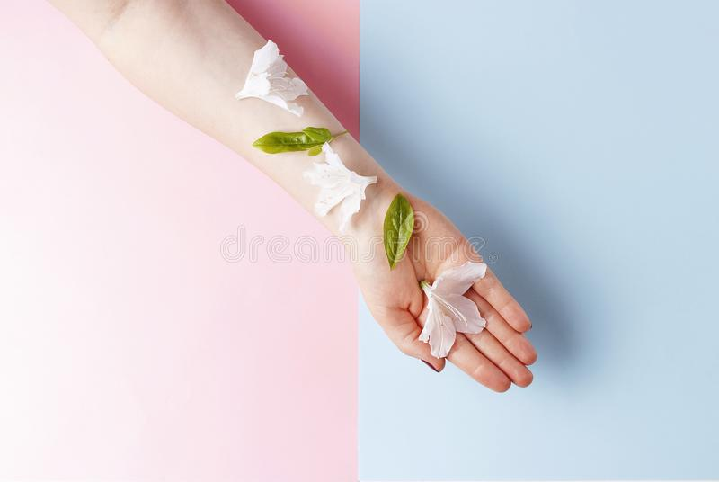 White flowers on female hand, pink and blue background, copy space royalty free stock photography