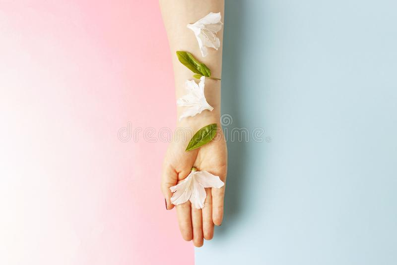 White flowers on female hand, pink and blue background, copy space royalty free stock images