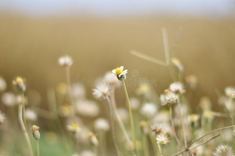 White Flowers Field royalty free stock photo