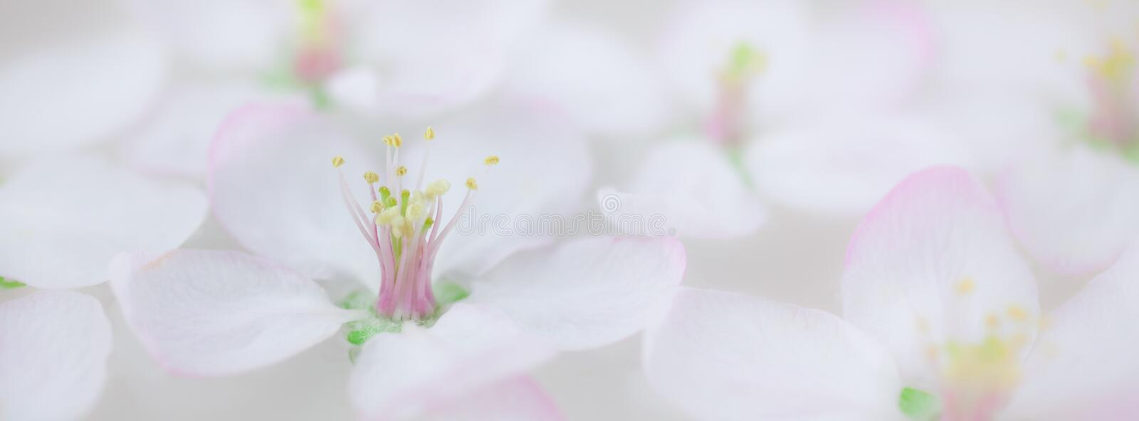 White flowers floating in water. Close up of white spring blossoming apple tree flowers floating in aroma bowl of water. Spa and wellness concept. Long wide royalty free stock photo