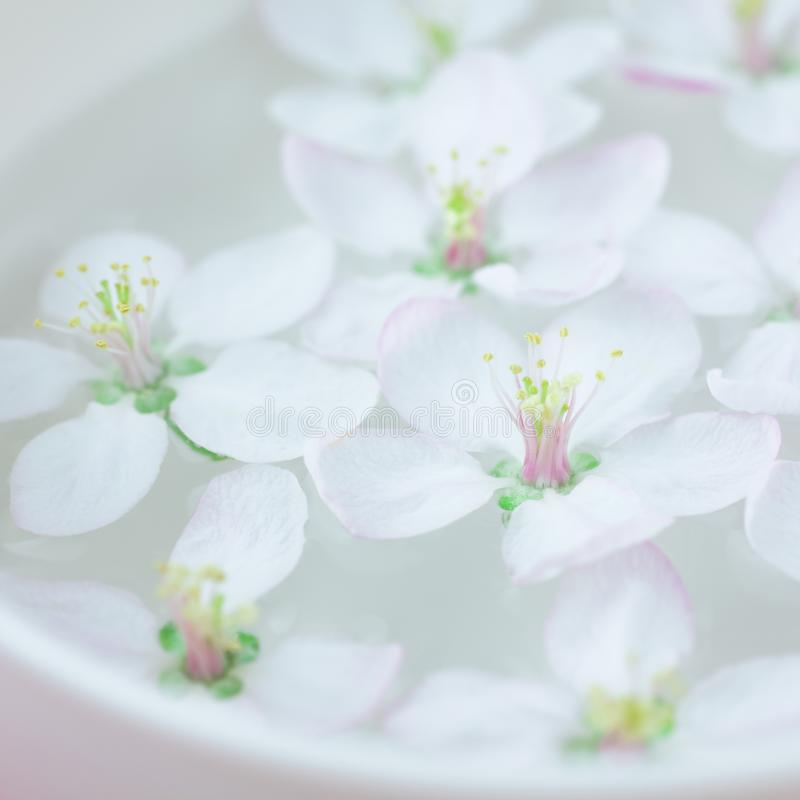 White flowers floating in water. Square Close up of white spring blossoming apple tree flowers floating in aroma bowl of water. Spa and wellness concept stock image