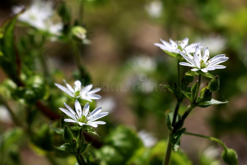 The white flowers royalty free stock photography