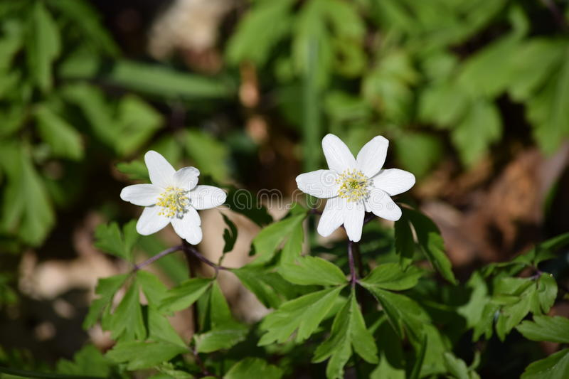2 white flowers in a forest. On a beautiful day around easter stock image