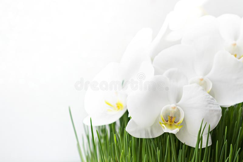 White Flowers in the Fresh Grass on the White Background stock photography