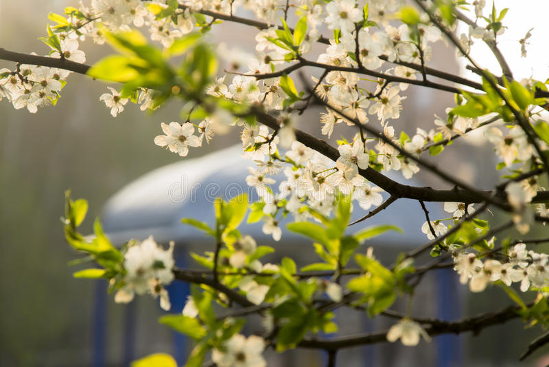 White Flowers On A Fruit Tree Branches Near White Gazebo stock image