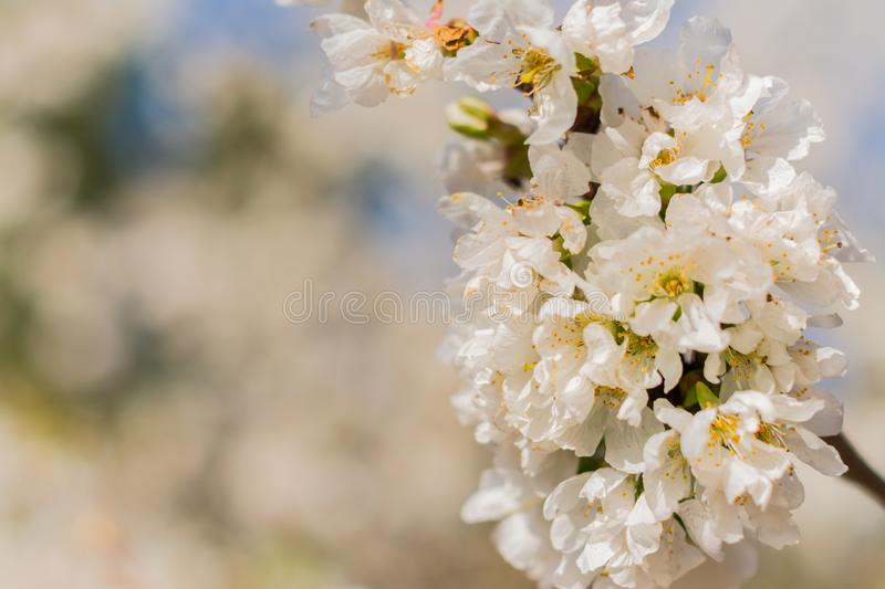 White flowers of fruit tree royalty free stock photography