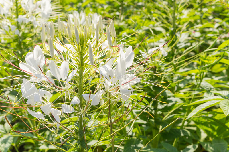 White flowers in a garden royalty free stock photography