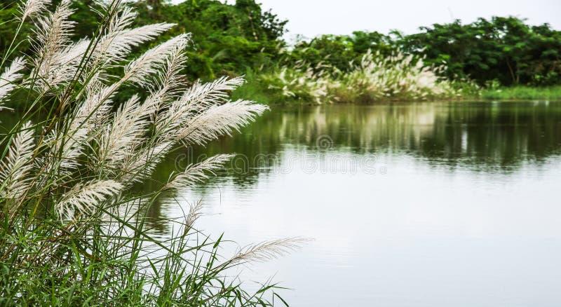White flowers grass in marsh royalty free stock image