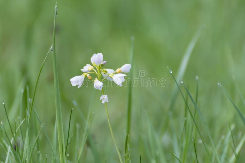 White flowers in grass.White wild flower royalty free stock images