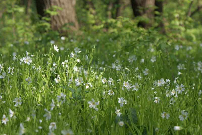 White flowers among green grass in a clearing in wild nature. A lot of small white flowers among green grass in a clearing in the forest in the wild. Blurred stock photography