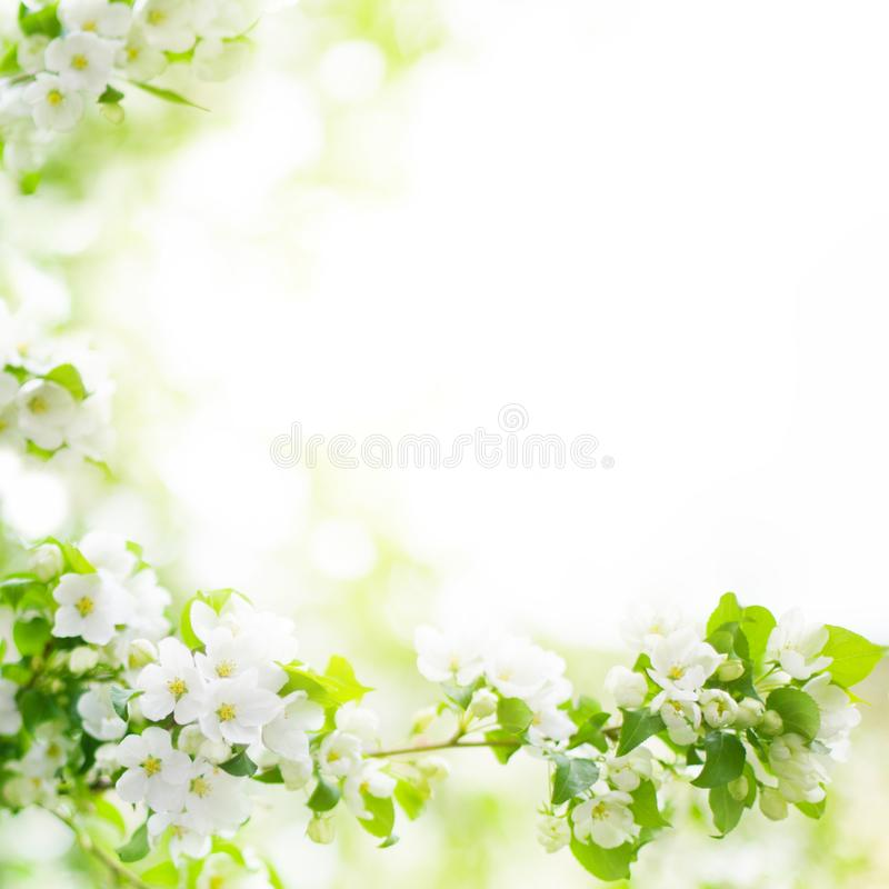White flowers and green leaves on blurred bokeh background closeup, blooming apple tree branch, spring cherry blossom royalty free stock images