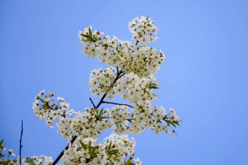 White flowers with green leaves. Flowering cherry branch against the blue sky. Selective focus stock photos