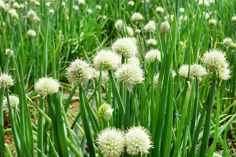 White flowers of green onion on a garden bed, stock image
