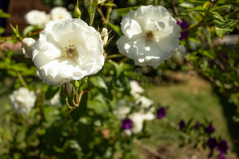 White flowers growing and glowing in sunlight royalty free stock photo