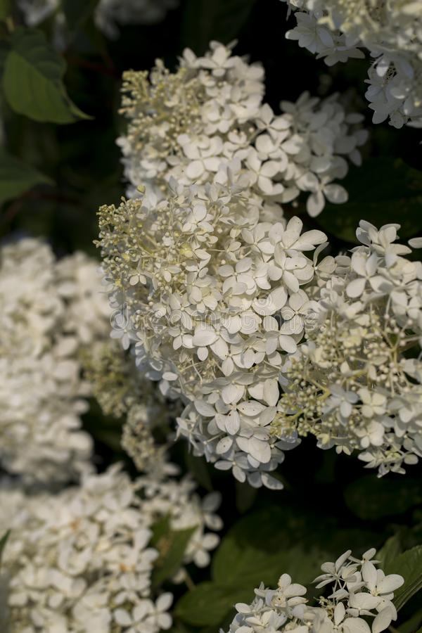 White flowers royalty free stock photography