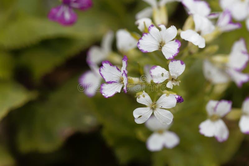 White flowers of a honesty, Lunaria annua. White flowers of a honesty or annual honesty  plant, Lunaria annua stock images