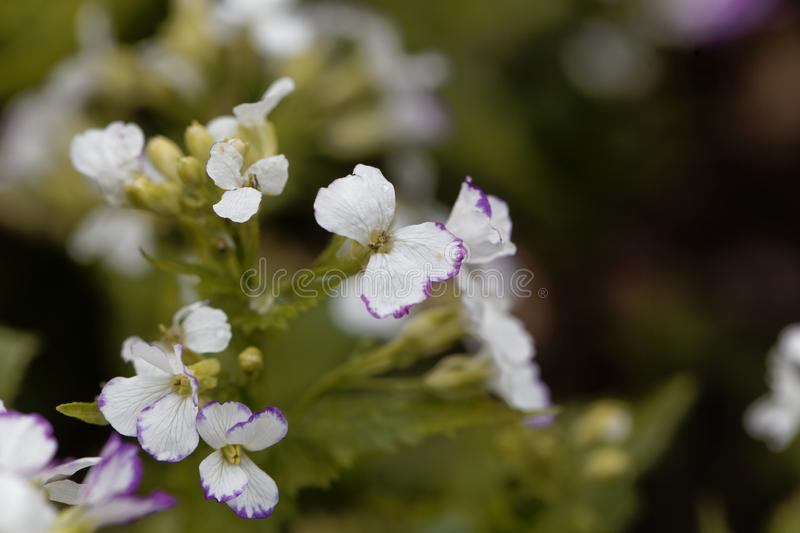 White flowers of a honesty, Lunaria annua. White flowers of a honesty or annual honesty  plant, Lunaria annua royalty free stock photography