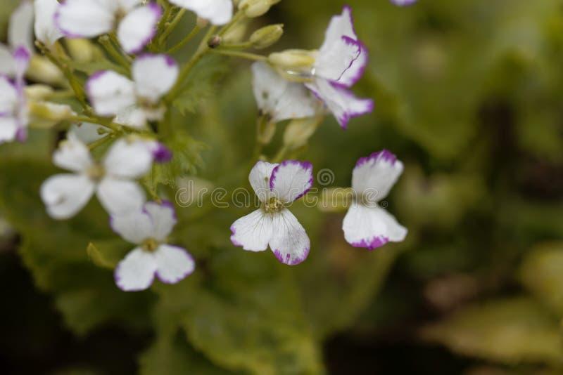 White flowers of a honesty, Lunaria annua. White flowers of a honesty or annual honesty  plant, Lunaria annua royalty free stock photo