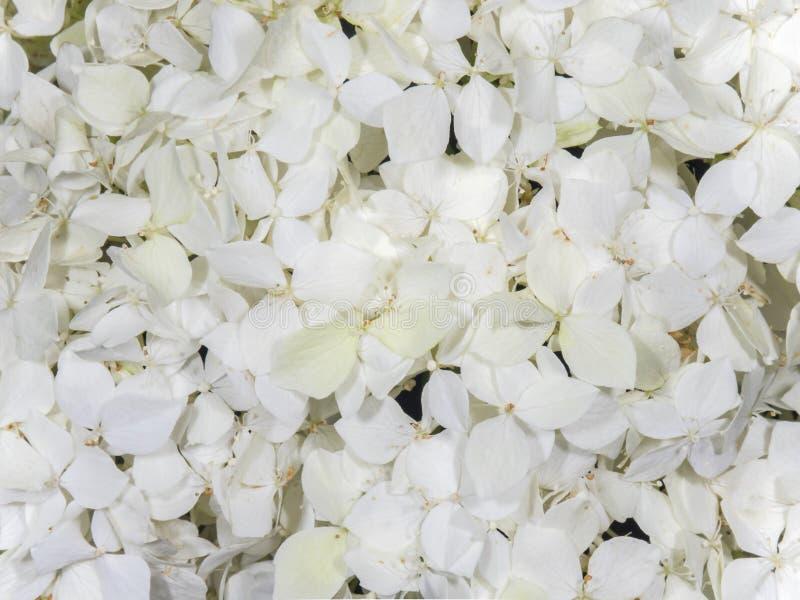 White flowers hydrangea stock images