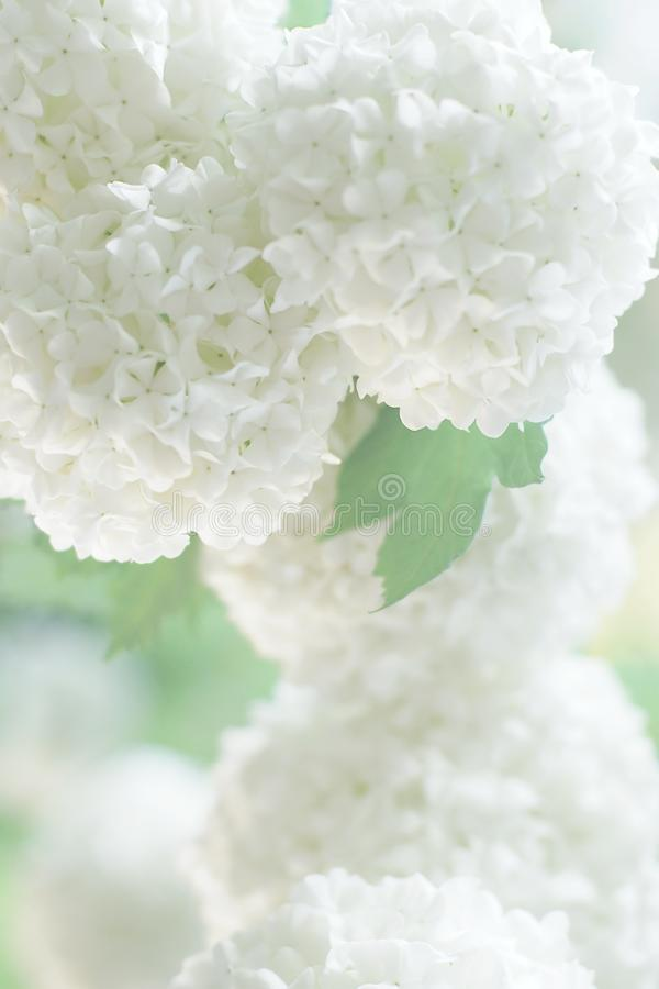 White flowers for invitaion card,blurred soft focus royalty free stock photos