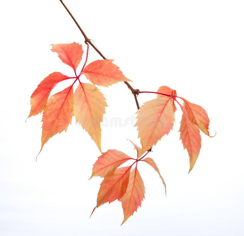 Branch of autumn leaves isolated on a white background. Parthenocissus quinquefolia. studio shot stock photo