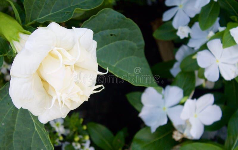Download White Flowers stock photo. Image of stamen, flora, petals - 76095186