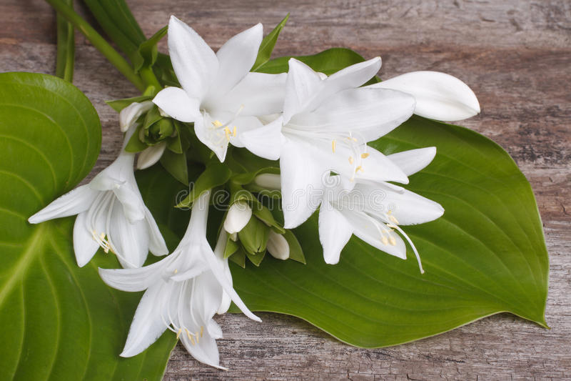 White flowers and leaves hosta on a wooden stock photography