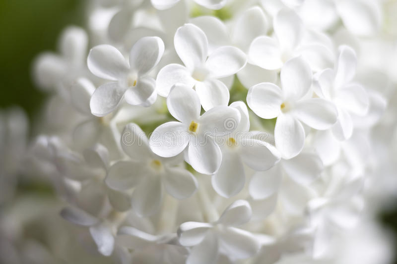 White flowers of lilac stock images