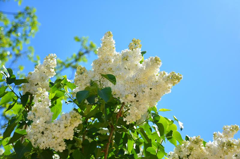 White flowers of lilac in the spring garden bush with fragrant download white flowers of lilac in the spring garden bush with fragrant stock image mightylinksfo