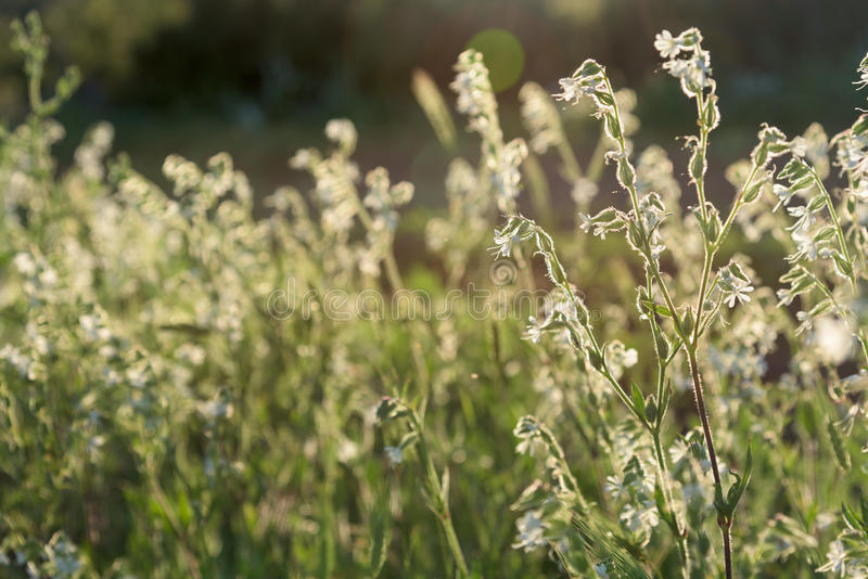 White flowers meadow and majestic sunset light stock photos