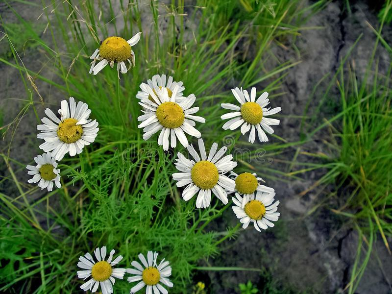 White flowers on a in the tundra. Summer in the tundra. White flowers on a meadow in the tundra. Summer in the tundra stock photography
