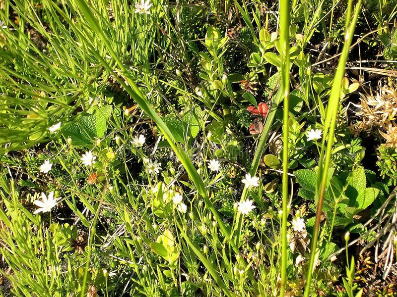 White on a meadow in the tundra. Summer in the tundra. White flowers on a meadow in the tundra. Summer in the tundra royalty free stock image