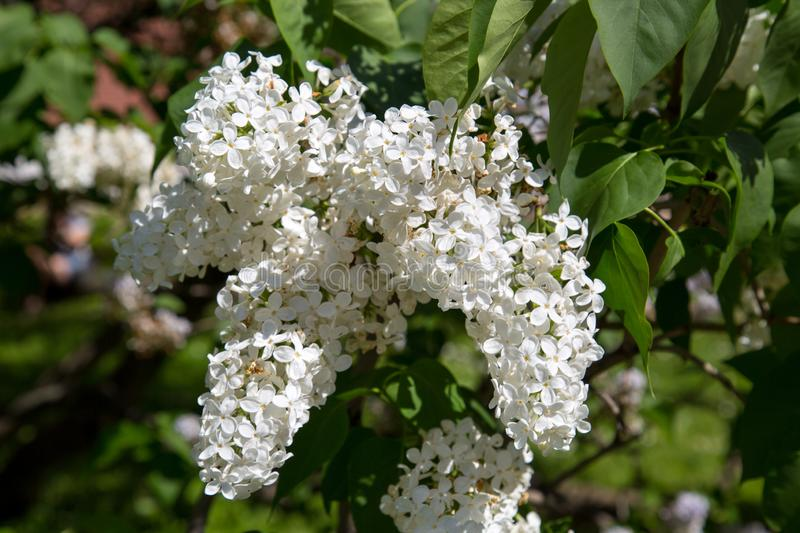 The white flowers of mountain ash on a background of green leaves in the spring on a clear Sunny day. royalty free stock photo